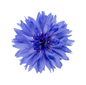 kornblume